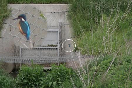 kawasemi200601.jpg
